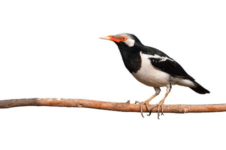Beautiful bird, Asian Pied Starling (Sturnus contra) perching on a branch, Bird from Thailand Banque d'images