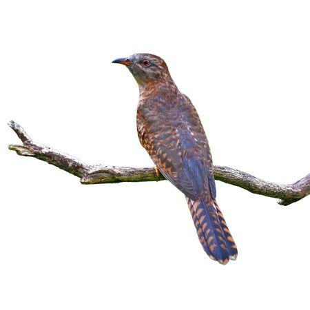 Beautiful bird, female of Plaintive Cuckoo (Cacomantis merulinus) perching on a branch, Bird from Thailand