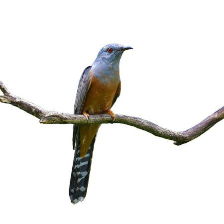Beautiful bird, male of Plaintive Cuckoo (Cacomantis merulinus) perching on a branch, Bird from Thailand