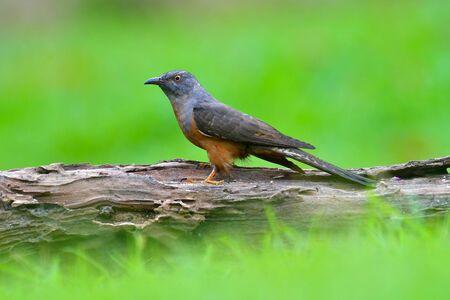 Beautiful bird, male of Plaintive Cuckoo (Cacomantis merulinus), Bird from Thailand Banque d'images
