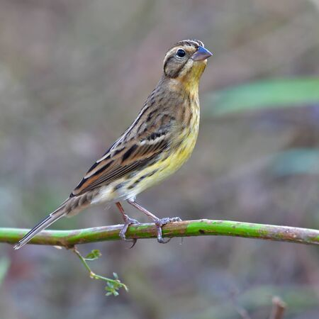 Beautiful Bird, Female of Yellow-breasted Bunting (Emberiza aureola) standing on a branch.