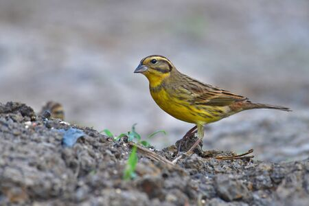 Beautiful Bird, Male of Yellow-breasted Bunting (Emberiza aureola) standing on a ground. Banque d'images