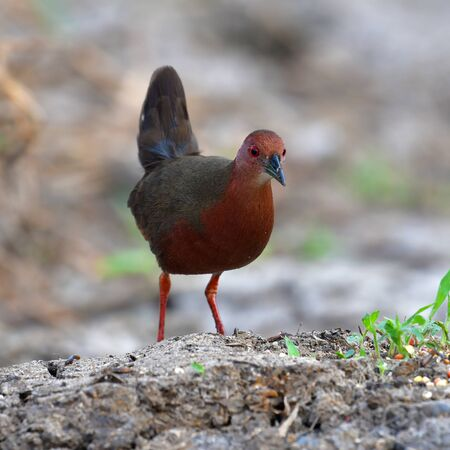 Beautiful Bird, Ruddy-breasted Crake (Porzana fusca) standing on a ground.