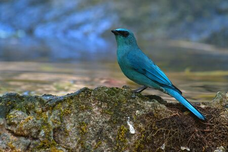 Beautiful male of Verditer Flycatcher (Eumyias thalassinus) bird sitting on stone. Banque d'images