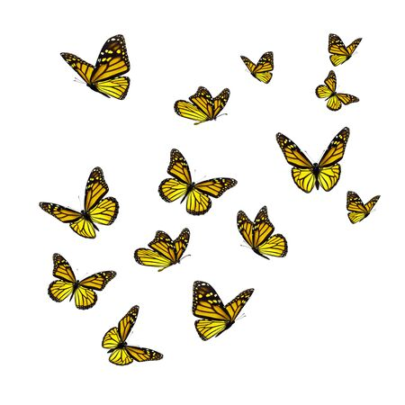 Beautiful yellow monarch butterfly isolated on white background. Banque d'images