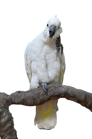 Beautiful  Sulphur-crested Cockatoo (Cacatua galerita), perching on a branch isolated on white background
