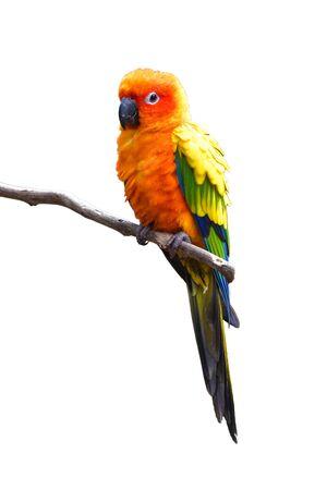 Hermoso pájaro loro Sun Conure donde se posan en una rama aislado sobre fondo blanco.
