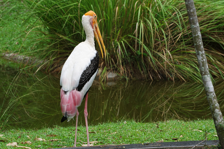 Painted Stork (Mycteria leucocephala) stand on the green field near swamp, The beautiful bird of Thailand, Its a large wader in the stork family and found in the wetlands of tropical Asia south. Stock Photo