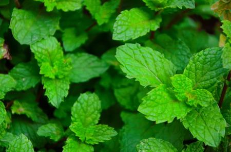 limonene: Paper mint Stock Photo