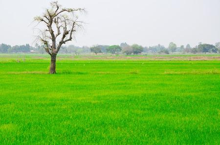 champ vert: un arbre entre un champ vert