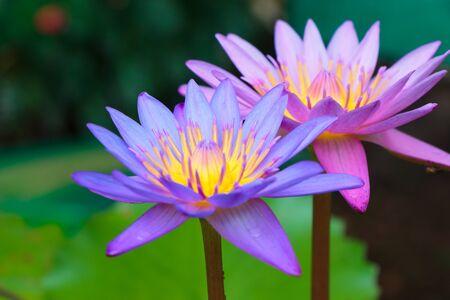 lotiform: lotus flower on the water