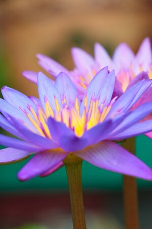 effloresce: lotus flower on the water