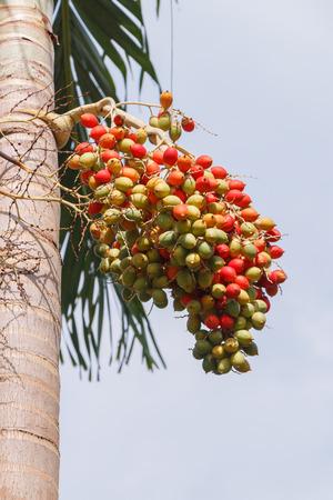 Red Areca Nut Palm on tree photo