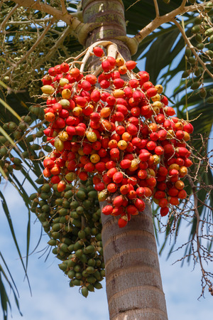 Red Areca Nut Palm on tree photo