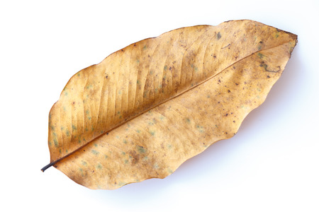 dried leaf: Dried leaf isolated on white background