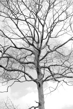 fall winter: Dead tree without leaf isolated on white background Stock Photo