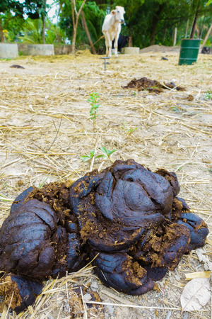 dung: cow dung close-up with cow in farm