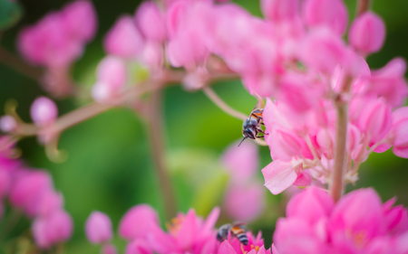 hayfever: Bougainvillea and bee Stock Photo