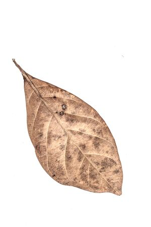 dried leaf: Isolated dried leaf on a white background.