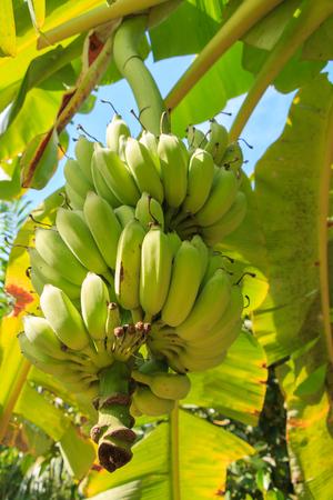 banana tree: Banana on tree nature background