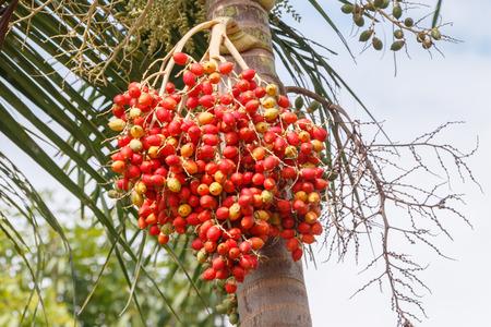 areca: Red Areca Nut Palm on tree