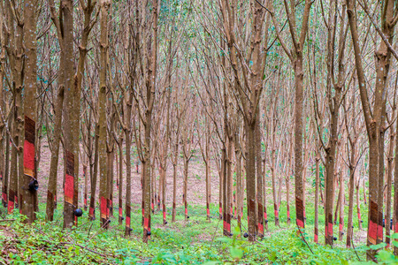 dankness: Rubber plantation, South of Thailand