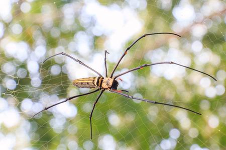 wood spider: Spider on web on nature background