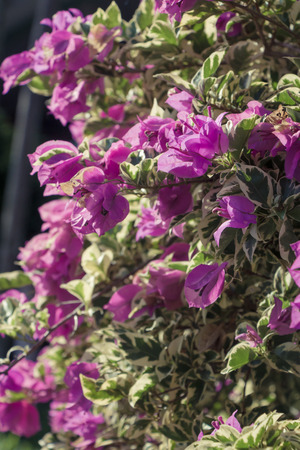 magenta: Beautiful magenta bougainvillea flowers Stock Photo
