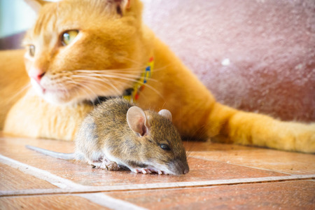 hunter playful: cat playing with rat at home.