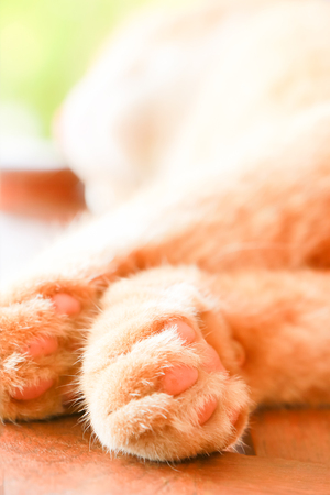 purring: Close-up foot of brown cat sleeping on table. Stock Photo