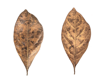 Aislado de hojas secas sobre fondo blanco.