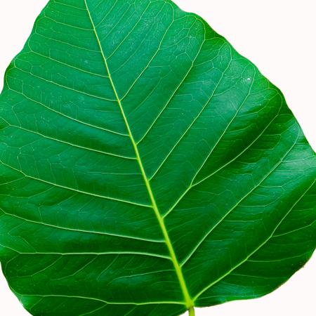 peepal tree: Bodhi Tree leaf isolated on white background.
