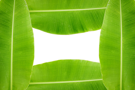 Fresh green banana leaf background with space