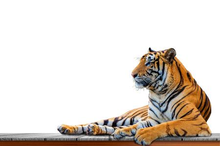 Cerrar tigre aislado sobre fondo blanco. Foto de archivo