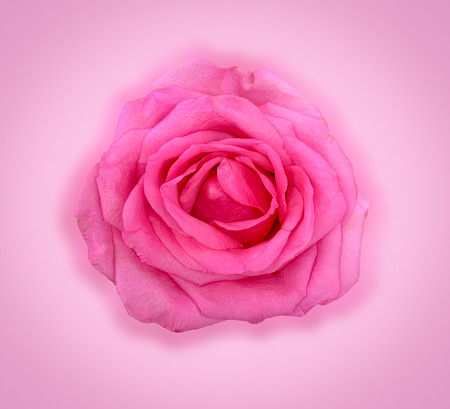 Close up pink rose isolated on white, Valentine concept.