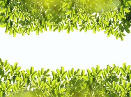 fresh light green leave isolated on white background for spring summer concept with space use for texts display. Reklamní fotografie - 125652661