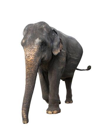 Close up old elephant isolated on white background