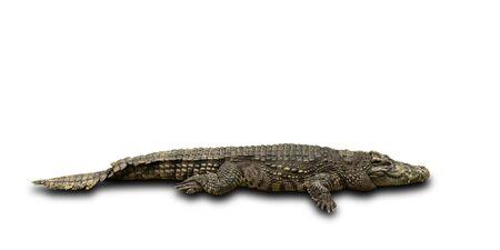Big crocodile isolated on white background