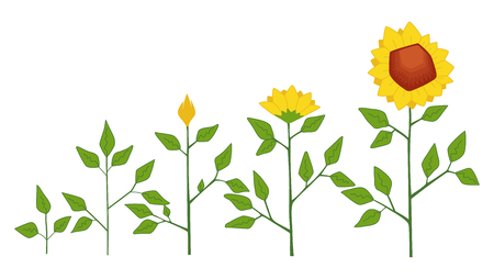 Vector sunflower plant growth stages concept, abstract flower symbols isolated on white background. Sunflower life cycle. Flat style
