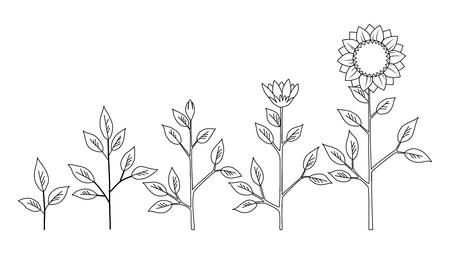 Etapas de crecimiento de la planta de girasol de vector para colorear concepto, símbolos de flores abstractas aisladas sobre fondo blanco. Ciclo de vida del girasol. Estilo plano