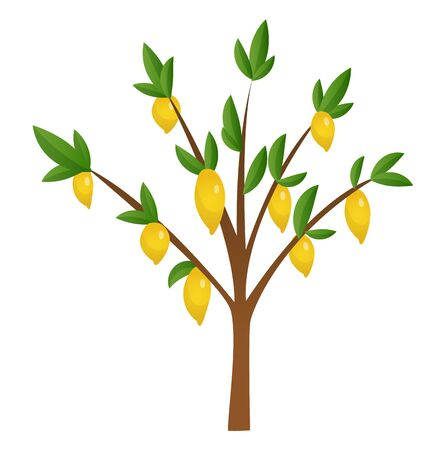 Lemon tree with yellow, green lemons, flowers and leaves. Element for design. Vector illustration. Isolated on white background.