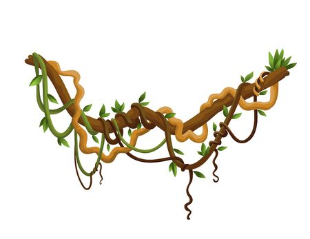 Liana or jungle wild vine winding branches. Woody natural tropical rainforest