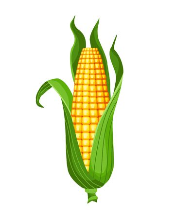 Corn. Isolated ripe corn ear. Yellow corn cob with green leaves. Summer farm design element. Sweet bunch of corn.