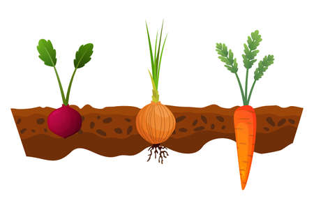 Vegetables growing in the ground. One line onion, carrot. Plants showing root structure below ground level. Organic and healthy food. Vegetable garden banner. Poster with root veggies. Stock Illustratie