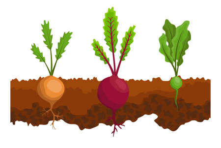 Vegetables growing in the ground. One line turnip, beet. Plants showing root structure below ground level. Organic and healthy food. Vegetable garden banner. Poster with root veggies Stock Illustratie