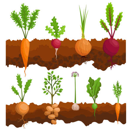 Collection if vegetables growing in the ground. Plants showing root structure below ground level. Organic and healthy food. Vegetable garden banner. Poster with root veggies