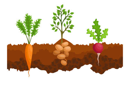 Vegetables growing in the ground. One line sugar beet, radishe, potatoes. Plants showing root structure below ground level. Organic and healthy food. Vegetable garden banner. Poster with root veggies