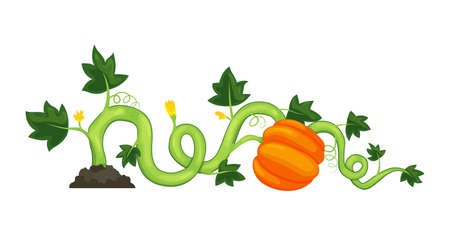 Life cycle of growth pumpkin plant on white background. Ripe vegetable. Vector illustration in flat design