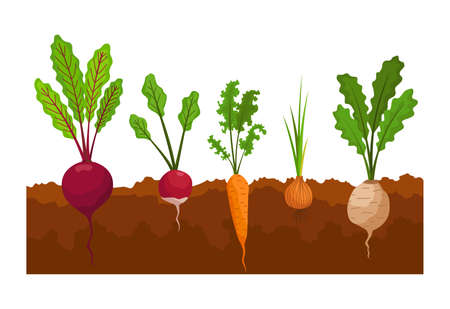 Vegetables growing in the ground. Plants showing root structure below ground level. Farm product for restaurant menu or market label. Organic and healthy food Ilustração