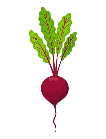 Beet vegetables growing. Plant showing root structure. Farm product for restaurant menu or market label. Organic and healthy food